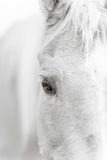 Palomino horse eye - black and white Royalty Free Stock Image