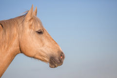 Palomino horse face profile Royalty Free Stock Image