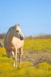 Palomino horse facing east Stock Photo