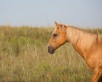 Palomino horse facing west Royalty Free Stock Photo