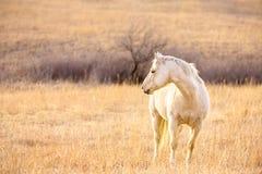 Palomino horse facing west