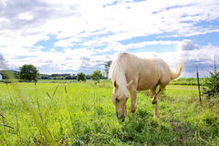 Palomino Horse in Farm Pasture. A Stallion Palomino Horse is grazing on grass in a farm pasture meadow Stock Images