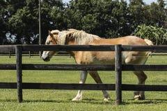 Palomino Horse Fence Stock Image