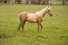 Palomino horse in field. A young palomino stallion standing in the field Royalty Free Stock Photography