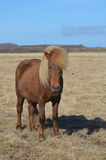 Palomino Horse in a Field Royalty Free Stock Photography