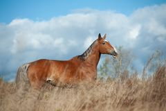 Palomino horse in the field royalty free stock photo