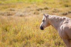 Palomino horse in field Stock Image