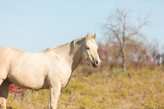 Palomino horse in field Royalty Free Stock Photo