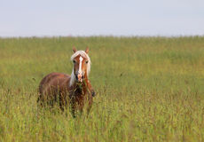 Palomino horse in field. Young palomino horse in field Stock Photography
