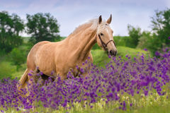 Palomino horse in flowers. Palomino horse in violet flowers meadow royalty free stock photos