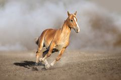 Cremello horse run. Palomino horse free run in sandy dust royalty free stock images