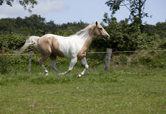 Palomino Horse gallop. Horse with fine bridle Palomino paint galloping on meadow Stock Image