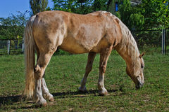 Palomino horse. Grazes in a meadow closeup Royalty Free Stock Photos
