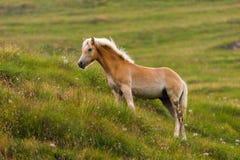 Palomino horse grazing Royalty Free Stock Photos