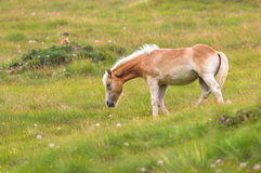 Palomino horse grazing Royalty Free Stock Photo