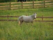 Standing in a field. Palomino horse grazing in a pasture royalty free stock image