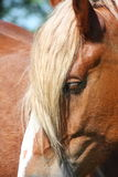 Palomino horse head close up Stock Photography