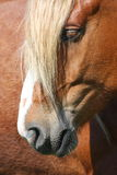 Palomino horse head close up Royalty Free Stock Photos
