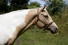 Palomino horse head. A fancy white-brown Palomino horse stands on a pasture Stock Image