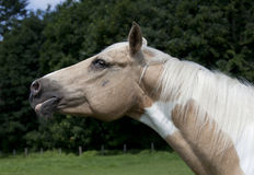 Palomino Horse Head. Horse head with fine bridle portrait Palomino paint Royalty Free Stock Images