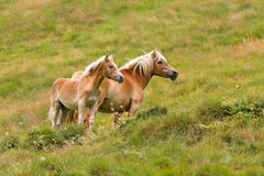 Palomino horse and her colt Royalty Free Stock Photos
