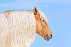 Palomino horse with long mane Royalty Free Stock Images