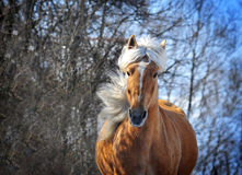 Palomino horse with long mane portrait Stock Photos