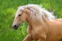 Palomino horse with long mane portrait Royalty Free Stock Images