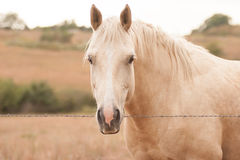 Palomino Horse. Looking over a barbed wire fence in a field Royalty Free Stock Photography