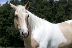 Palomino horse looking to camera Royalty Free Stock Image