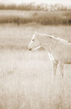 Palomino horse looking westward Stock Image