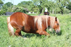 Palomino horse lying down at the field. Palomino draught horse lying down at the field in summer Stock Photos