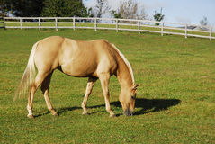 Palomino Horse In Pasture Royalty Free Stock Photos