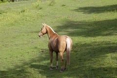 Palomino Horse on pasture. Beautiful golden Palomino Horse on pasture Royalty Free Stock Photo