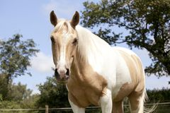 Palomino horse on pasture. A fancy white-brown Palomino horse stands on a pasture Stock Image