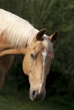 Palomino Horse on pasture portrait Stock Photos