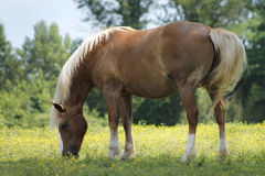 Palomino. Horse, Pike Creek, Delaware Royalty Free Stock Photo