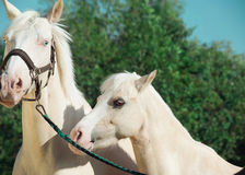Palomino horse and pony. Outdoor Royalty Free Stock Image