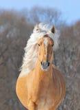 Palomino horse portrait. Spring portrait Stock Photos