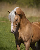 Palomino horse portrait Stock Photos