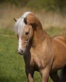 Palomino horse portrait Stock Photos