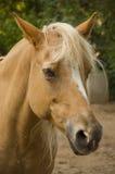 Palomino horse Stock Photo