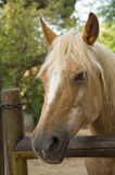 Palomino horse Royalty Free Stock Photos