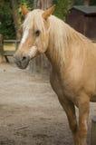 Palomino horse Royalty Free Stock Photo