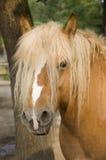 Palomino horse Stock Photography