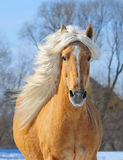 Palomino horse portrait at the field in action stock images