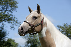 Palomino Horse portrait Stock Photo