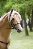 Palomino horse. Portrait of a palomino horse isolated outdoor Royalty Free Stock Photography