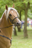 Palomino horse. Portrait of a palomino horse  outdoor Stock Image