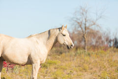 Palomino horse profile Stock Photo